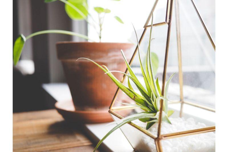 planta aeriana, terariu geometric, ghiveci ceramica in fundal, geam