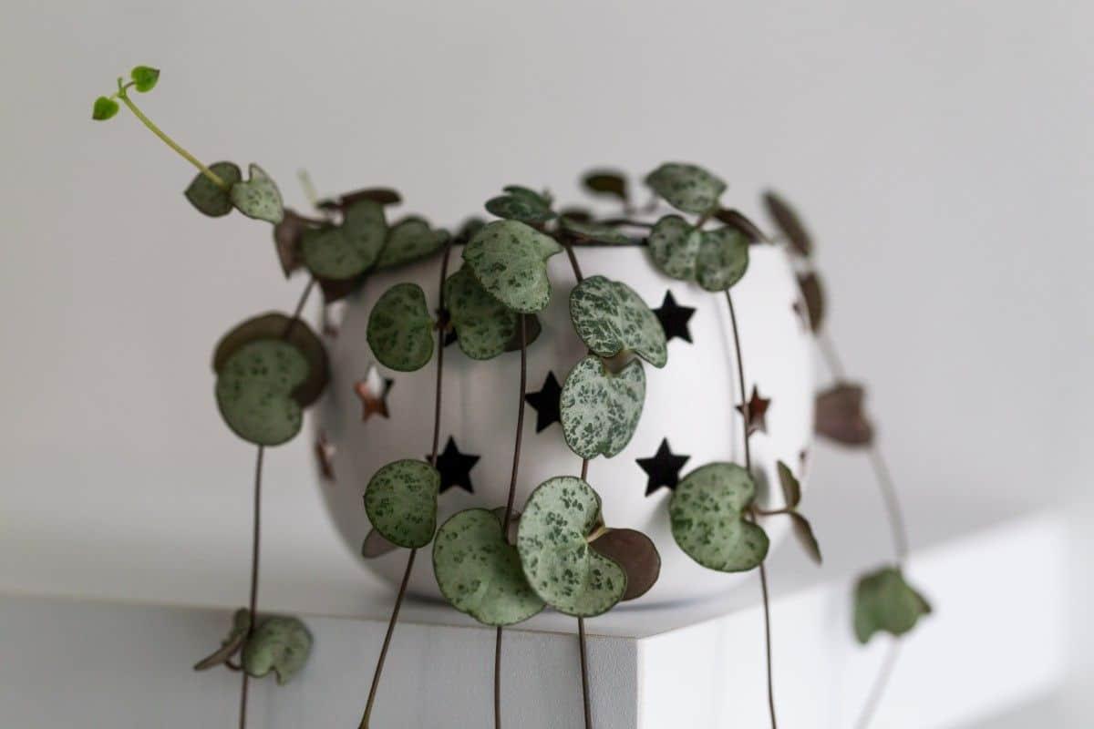 planta cu frunze in forma de inima, ghiveci alb cu stelute, fundal deschis