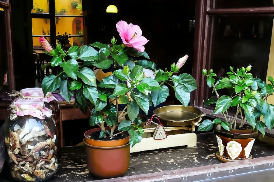 Hibiscus cu floare roz, ghiveci maro, pervaz scorojit