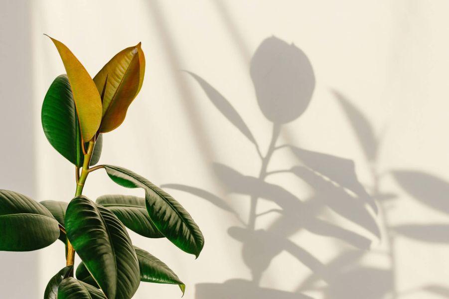 Planta verde cu frunze late, umbra pe perete