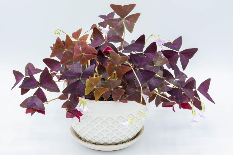 Planta oxalis de culoarea mov, ghiveci alb, fundal alb