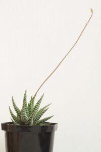 Planta suculenta cu o floare in crestere, ghiveci negru, fundal alb