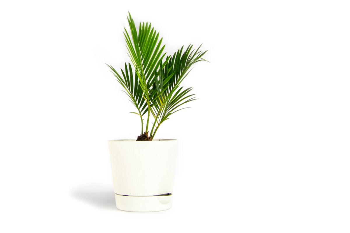 Palmier tip bambus, ghiveci alb, fundal deschis
