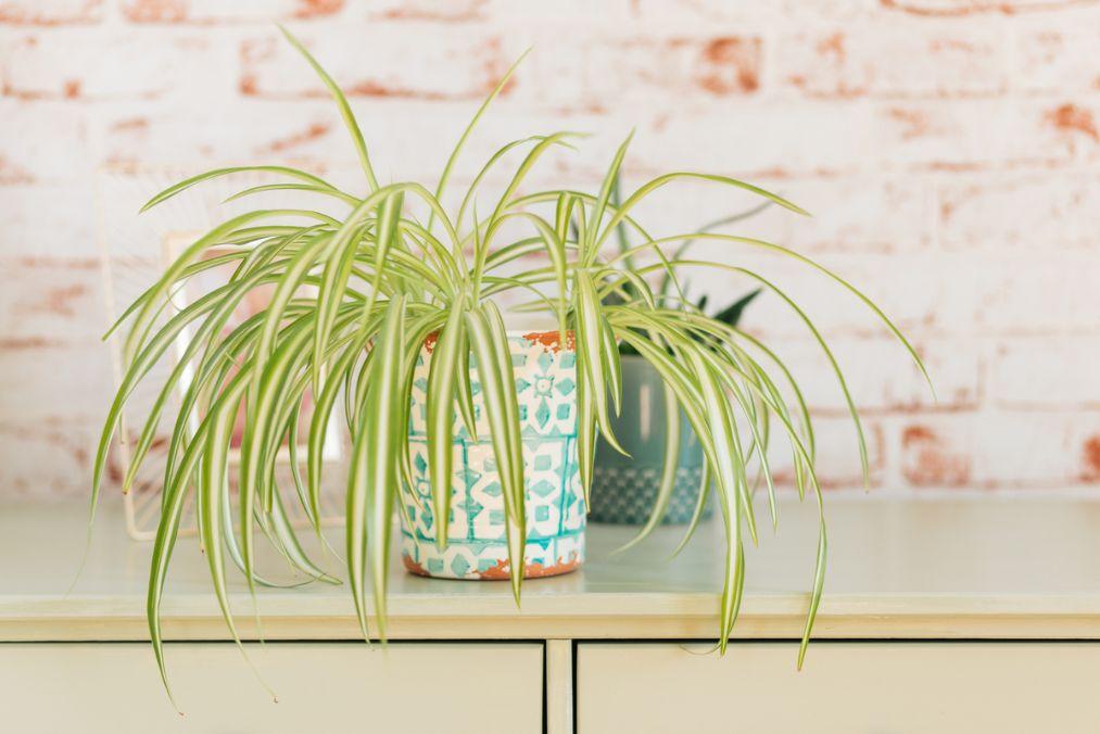 Planta paianjen verde cu alb, ghiveci colorat, fundal industrial