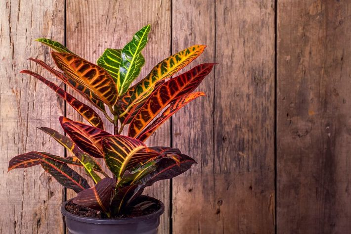 Planta decorativa cu frunze colorate, fundal din lemn