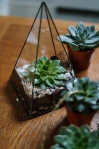 plante suc din sticla tip piramida, masa din lemnulente echeveria, terariu