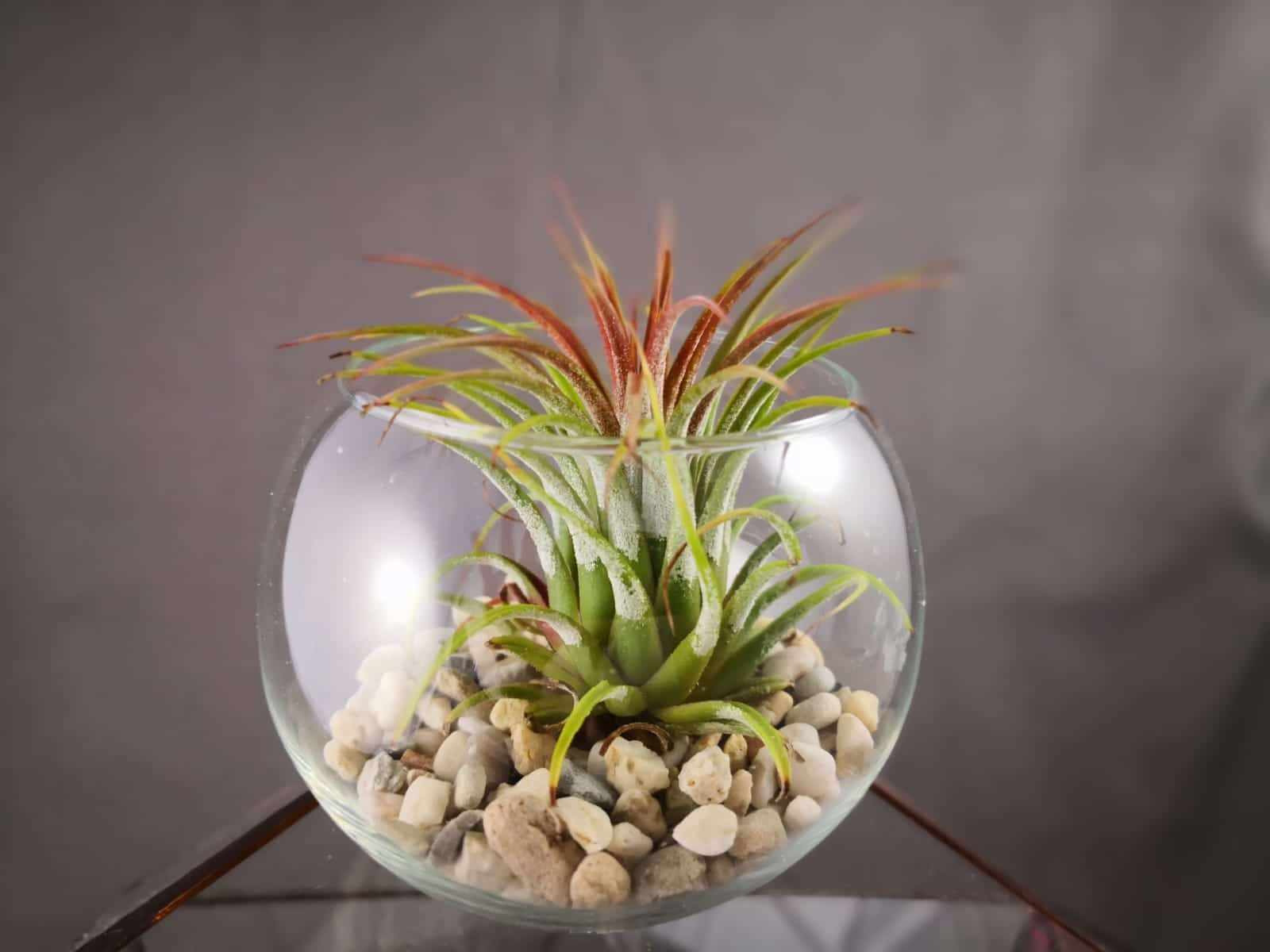 marturie in bol de sticla cu o planta aeriana, pietricele natur, fundal de studio foto