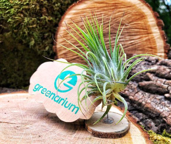 planta verde tillandsia pe o felie miica de lemn, logo greenarium, muschi verde