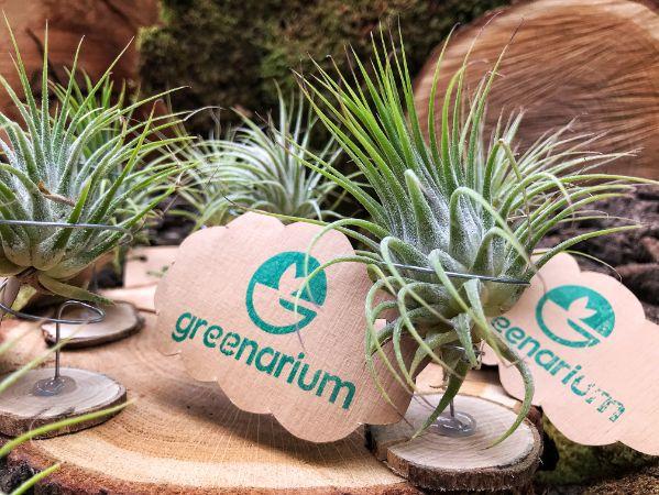 planta tillandsia pe o felie de lemn, marturie naturala, decor natural