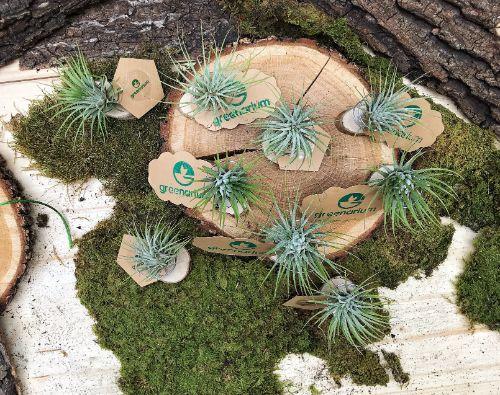 set de plante aeriene pentru marturii de nunta, felii de lemn mici si masri, muschi decorativ